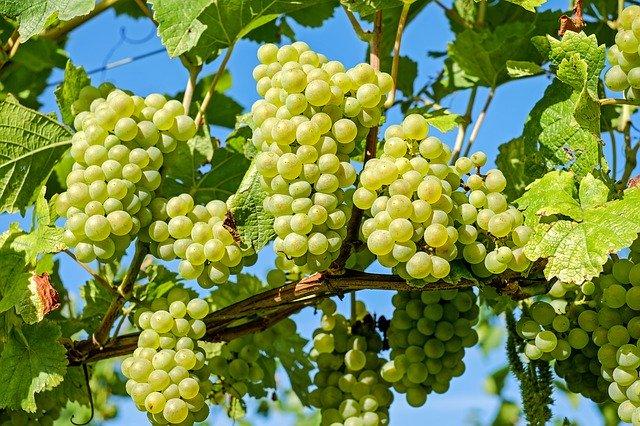 Druiven voor pisco