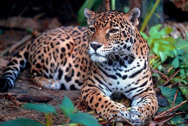 Jaguar in Puerto Maldonado