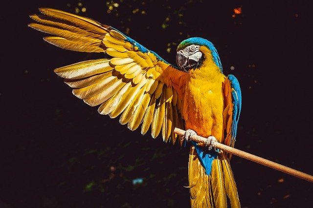 Papegaai in Puerto Maldonado