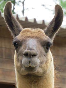 De voorkant van de kop van een lama in Peru