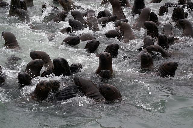 Zeeleeuwen bij Paracas