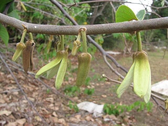Cherimoya bloemen