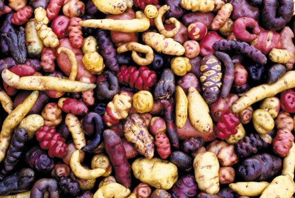 Wat de inca's eten? Aardappels natuurlijk